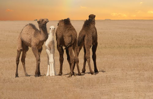 Three Brown Camels on Desert