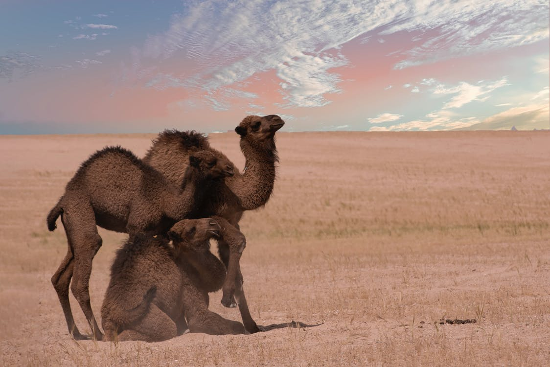 Group of Camels on Sand