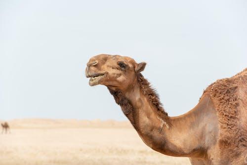Imagine de stoc gratuită din animal, cămilă, cămilă arabă, deșert