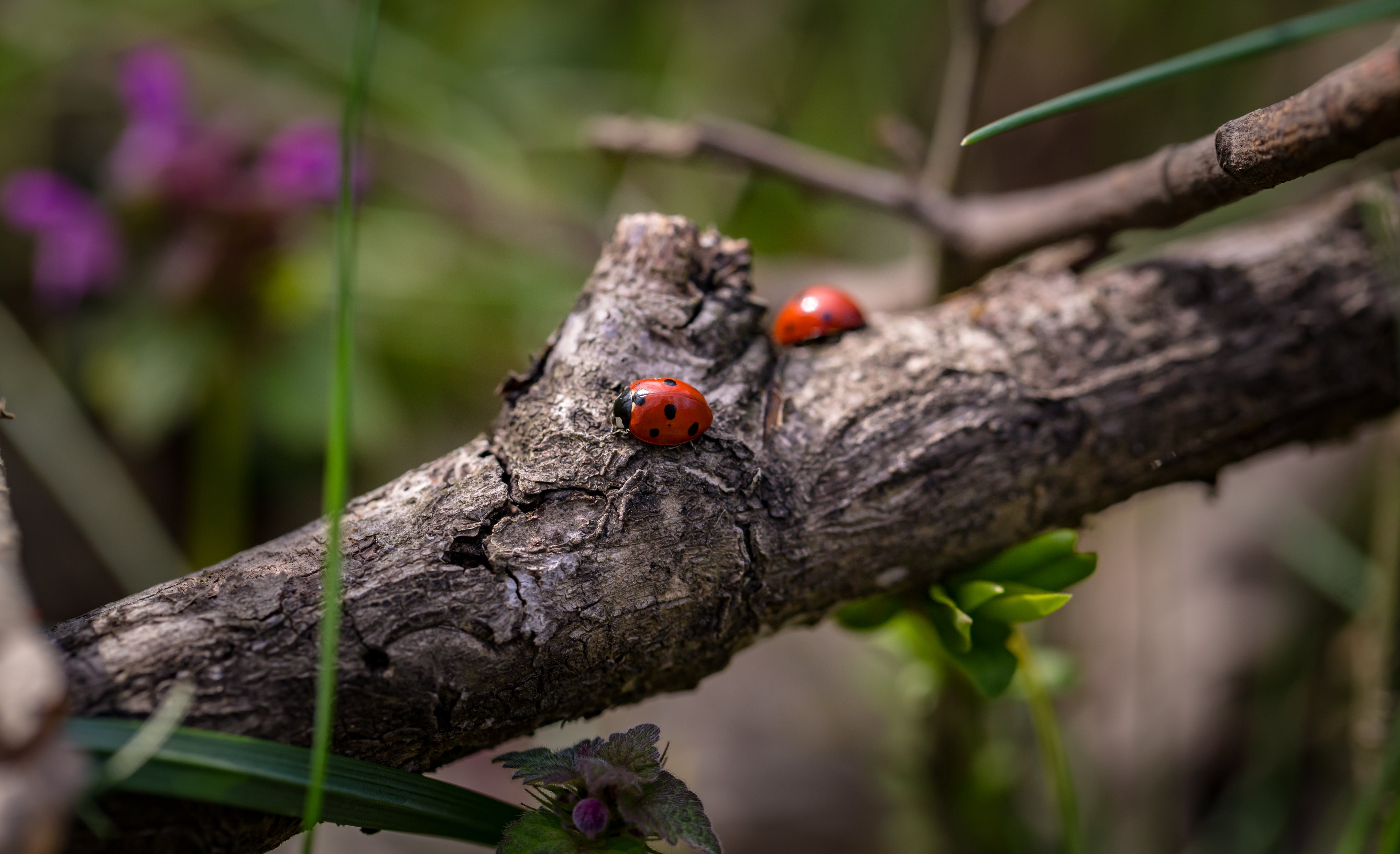 Two Red Ladybugs on Branch