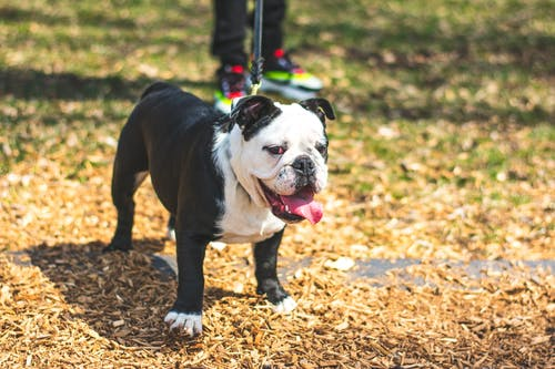 Kostnadsfri bild av bulldog, däggdjur, djur, förtjusande