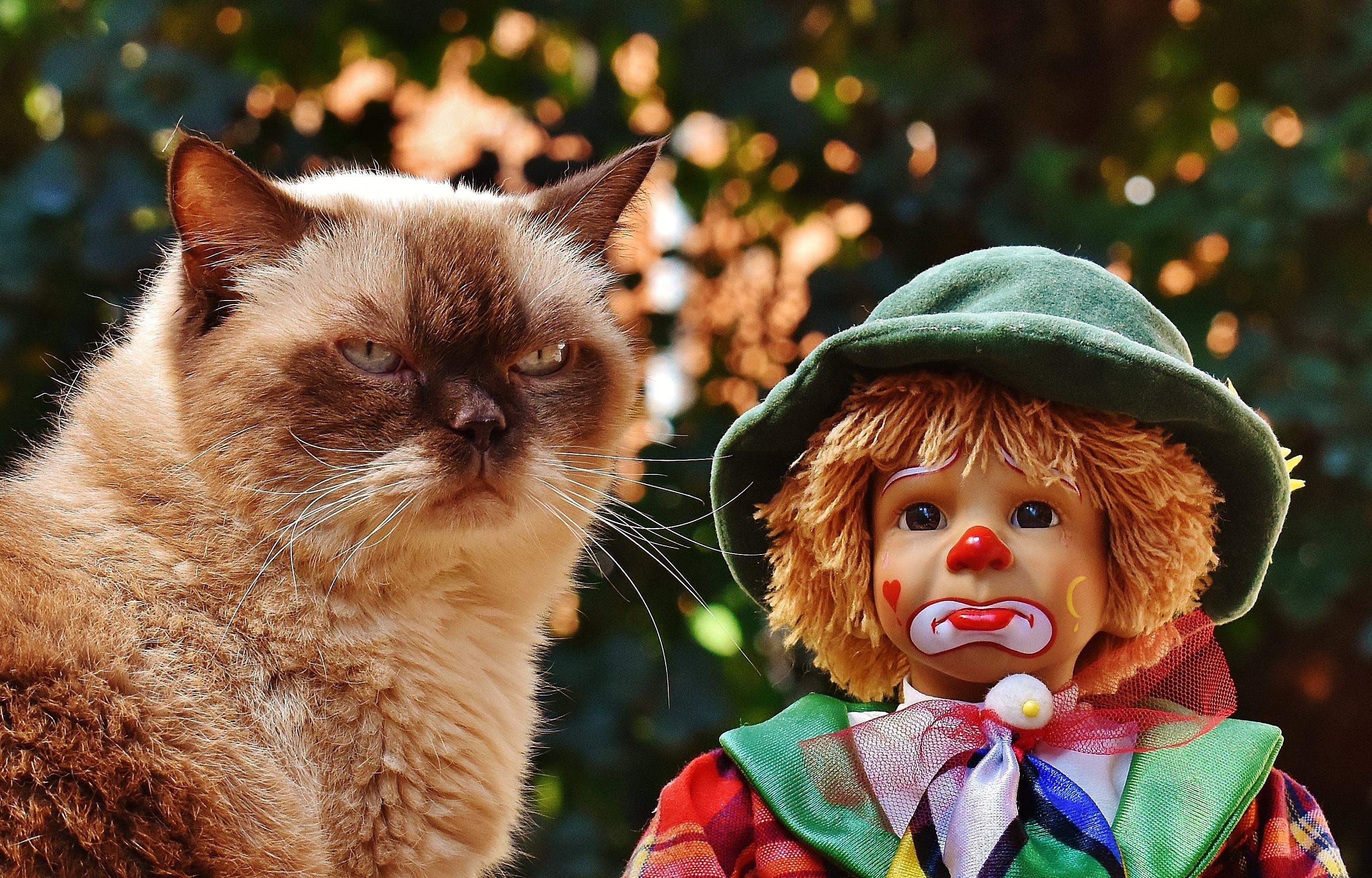 Free stock photo of british shorthair, cat, children, clown
