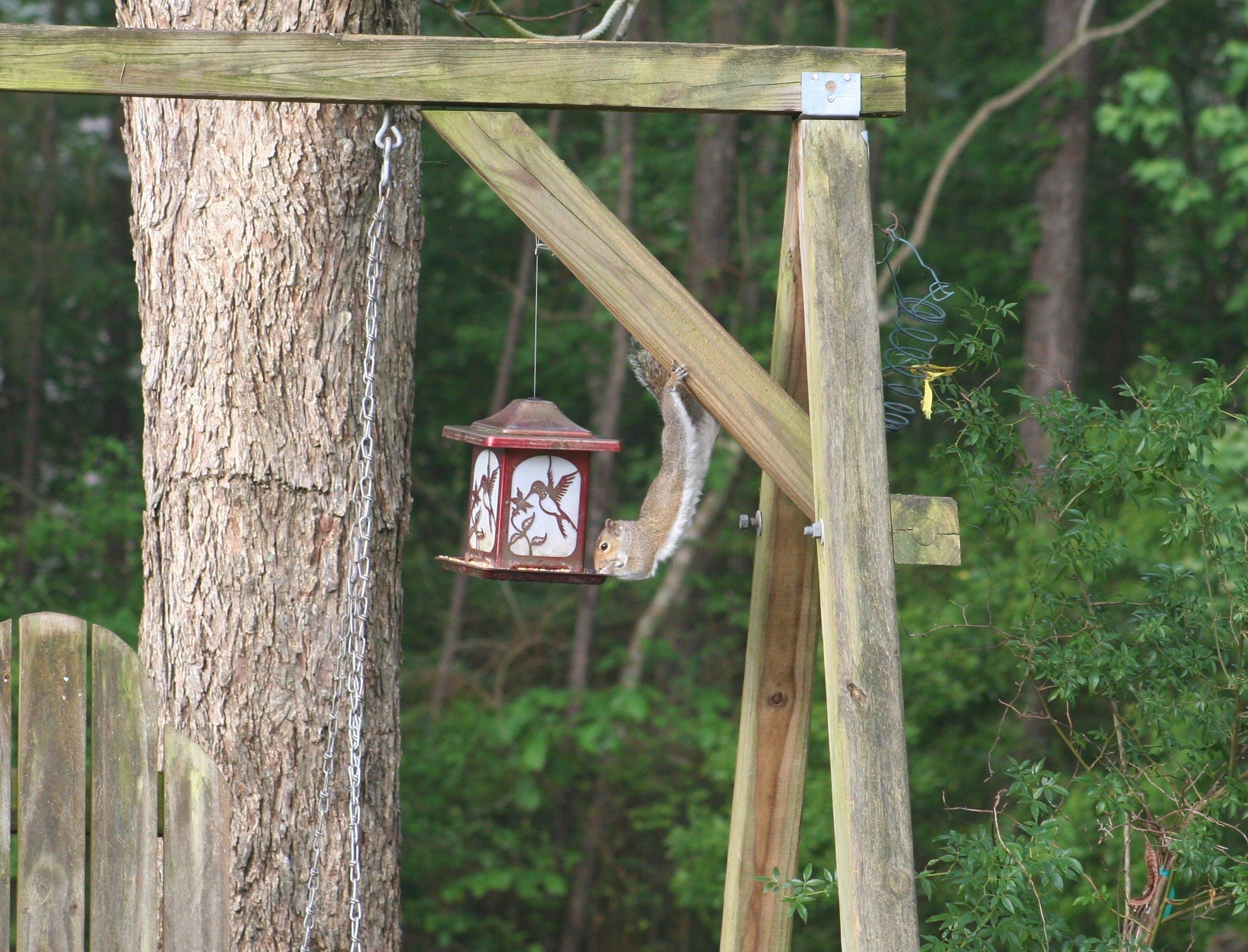 Gratis lagerfoto af egern, foderautomat, natur