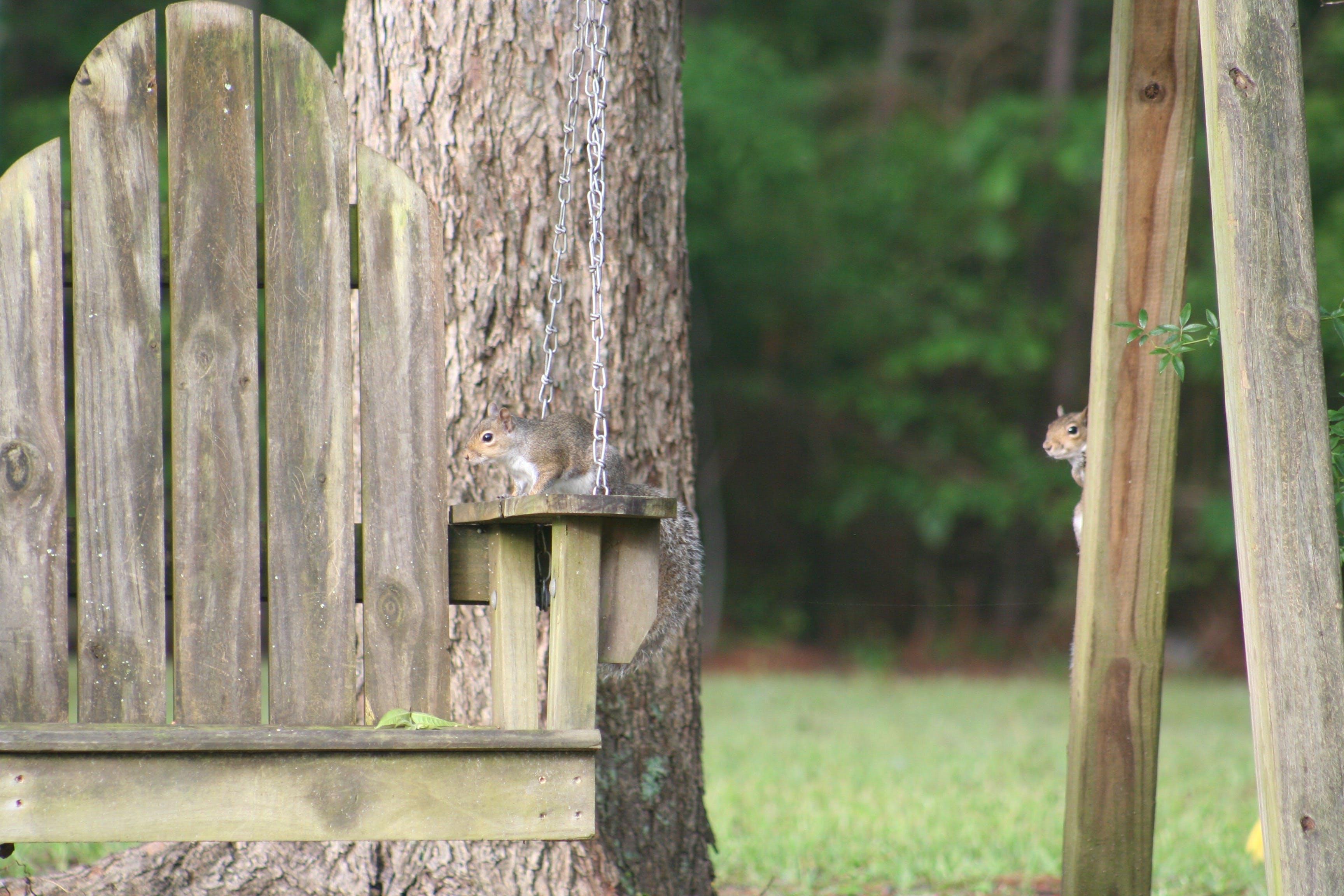 Gratis lagerfoto af egern, natur, træ swing
