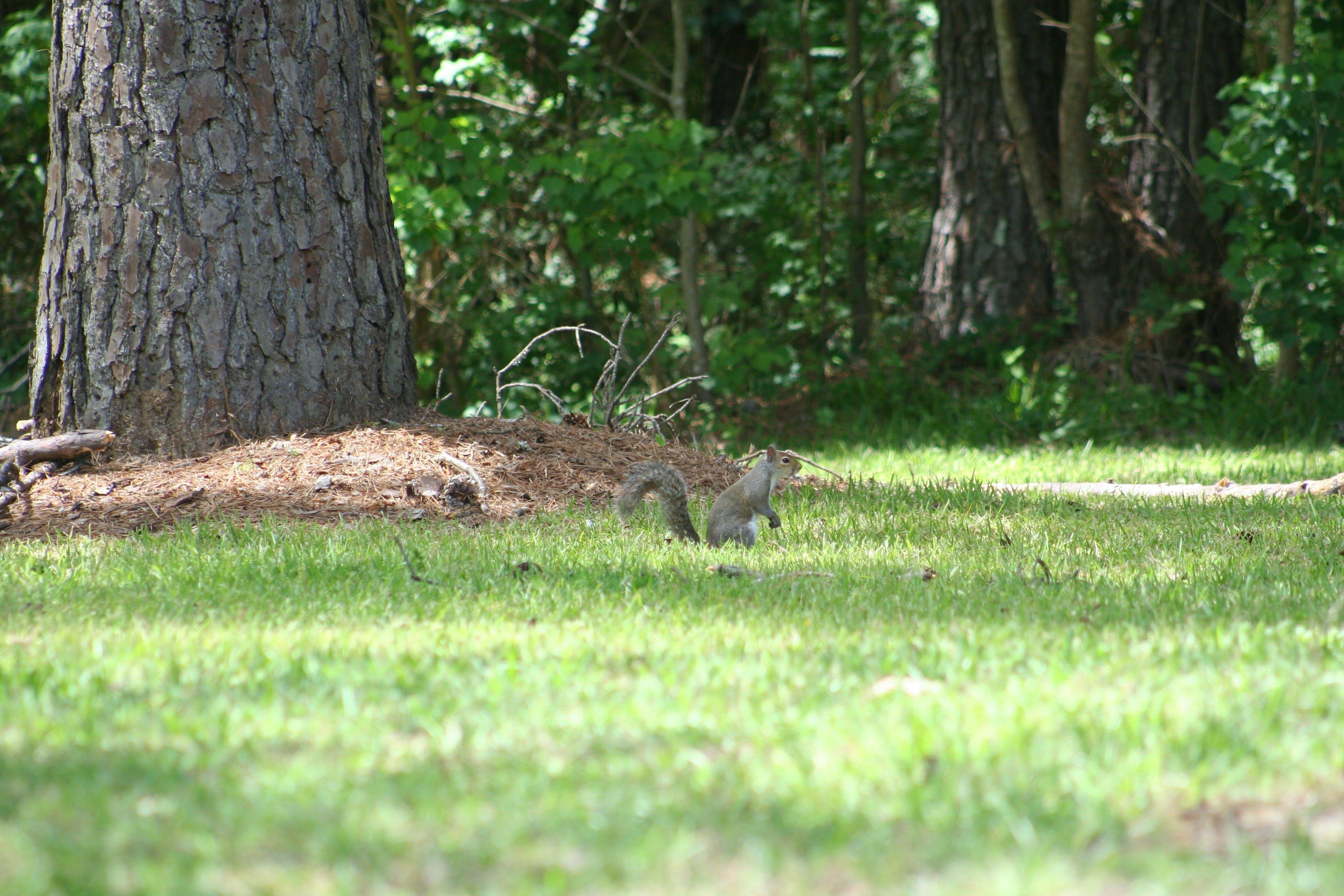 Gratis lagerfoto af egern, fyrretræ, grønt græs, natur