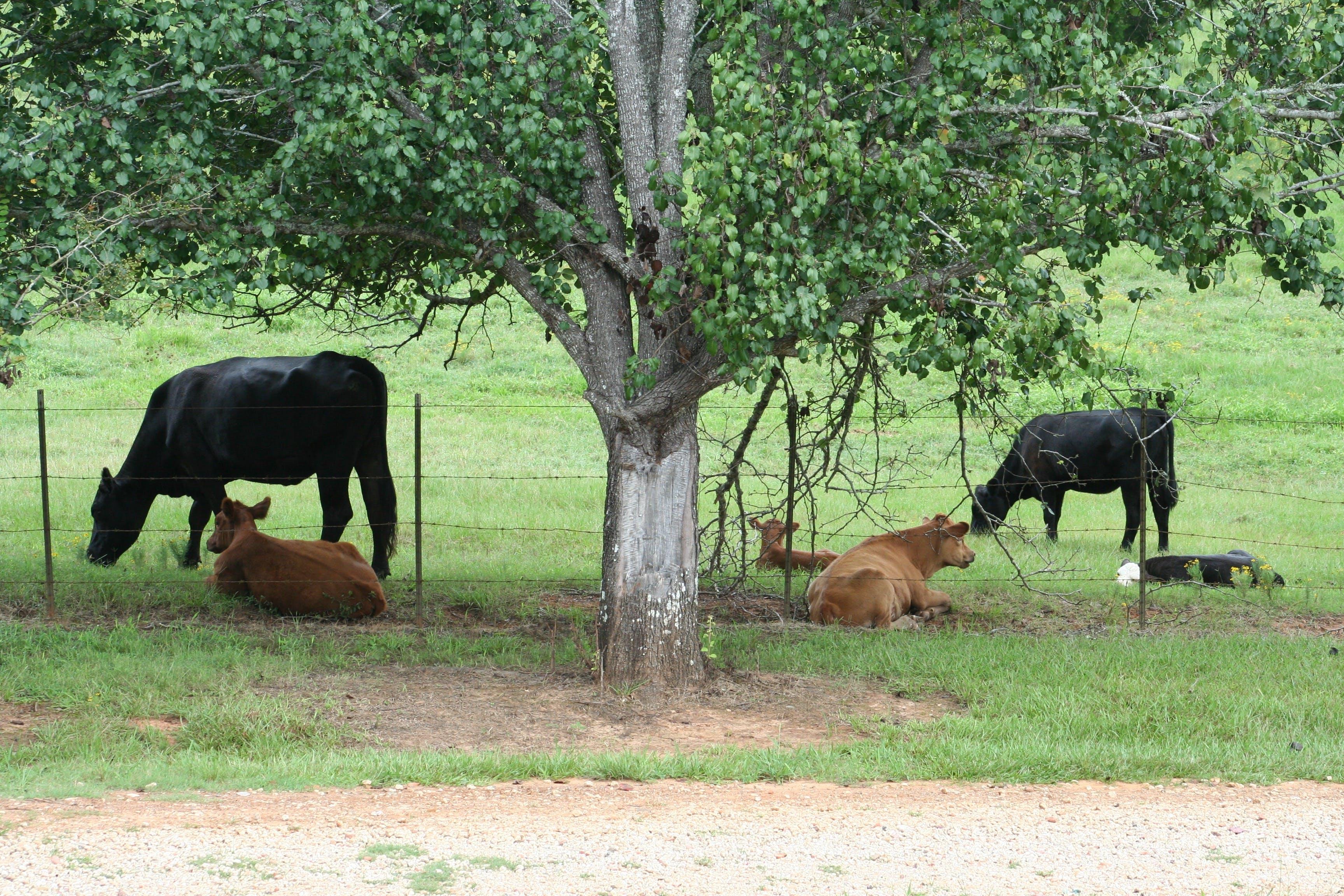 Gratis lagerfoto af gård, grønt græs, kalv, køer