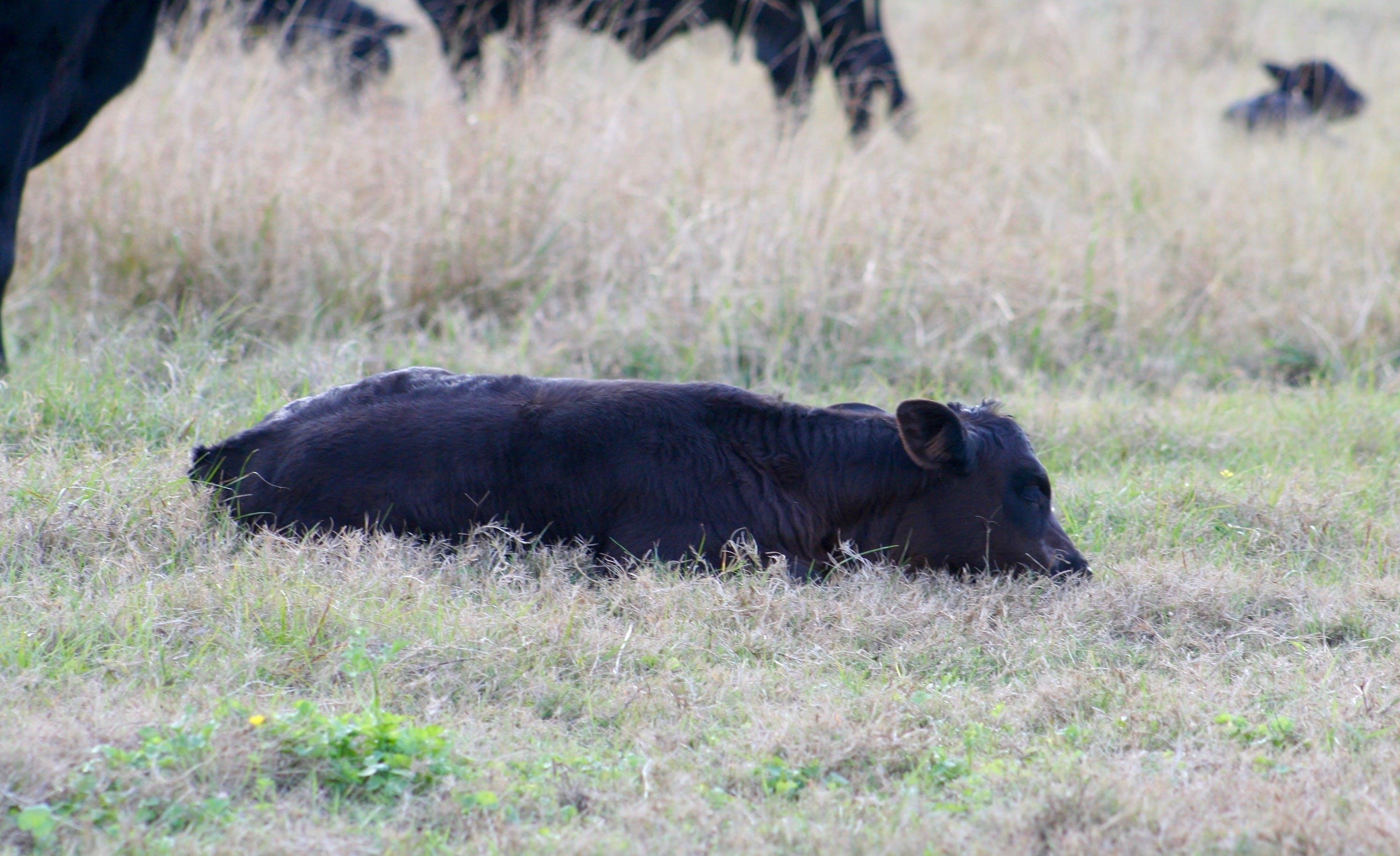 Gratis lagerfoto af gård, kalv, køer