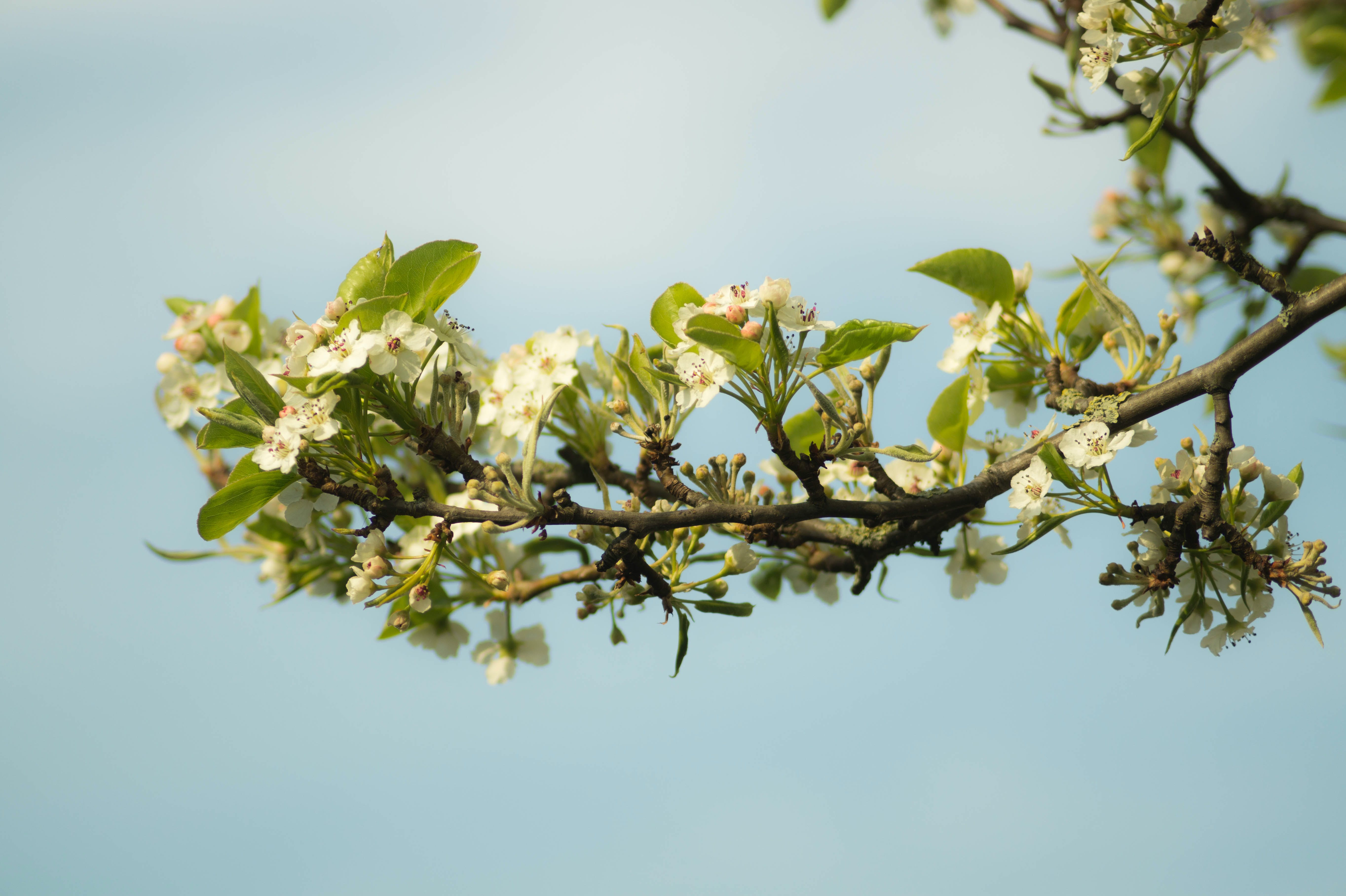 blooming, blossom, branch