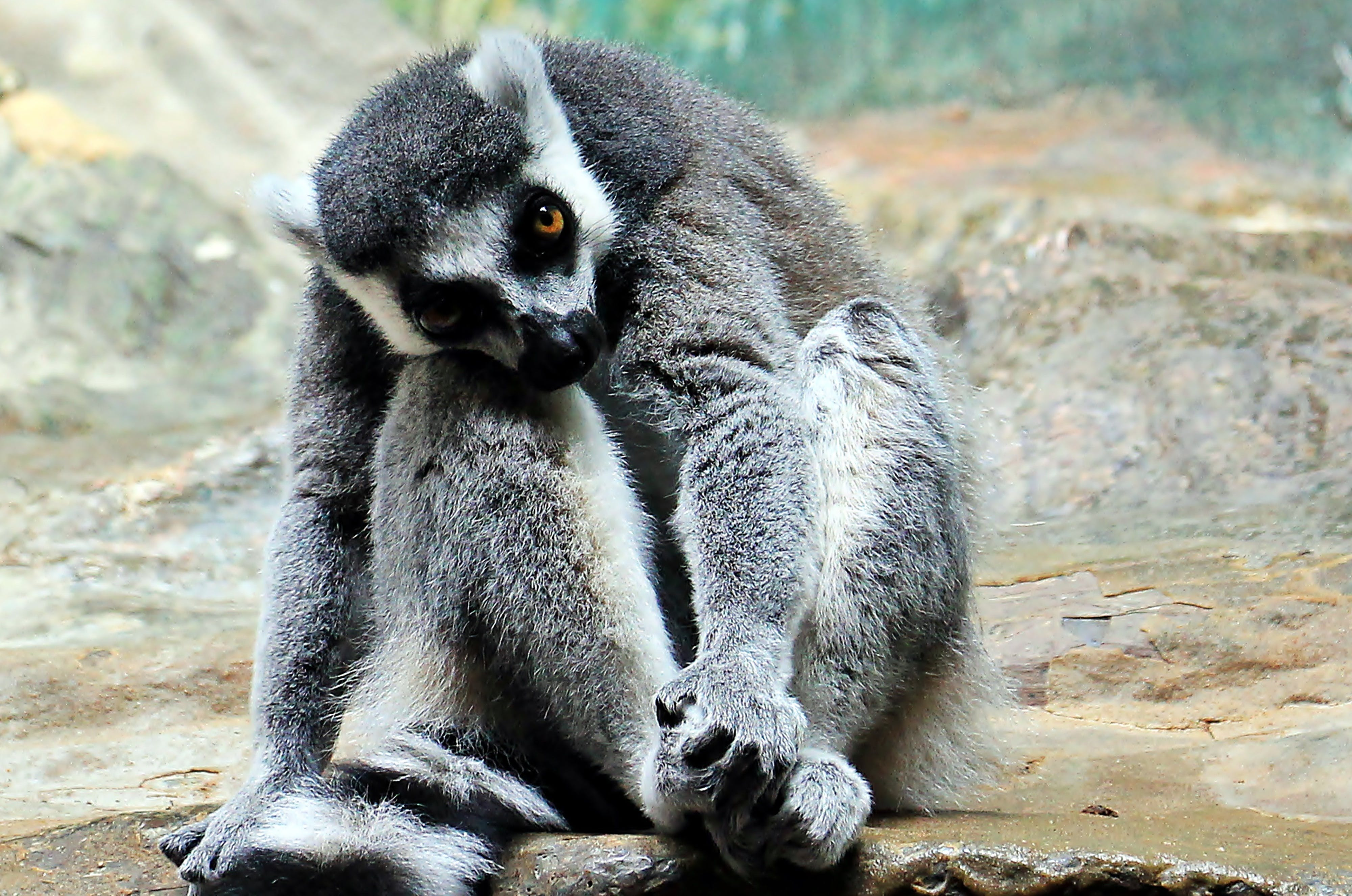 Gray Lemur Sitting on Rock