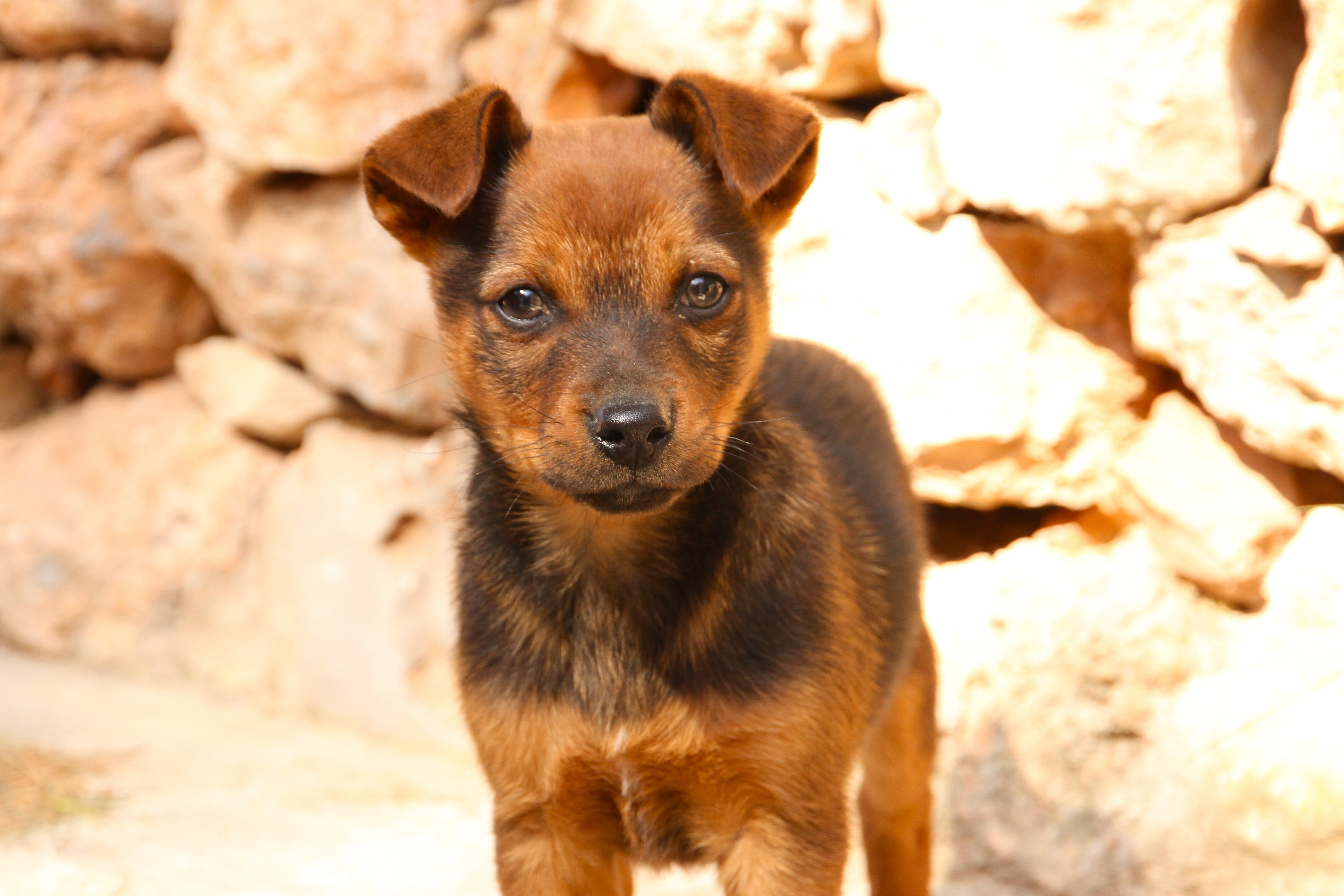 Short-coated Black and Tan Puppy on Focus Photo