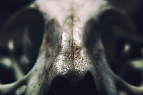 Gray Animal Skull