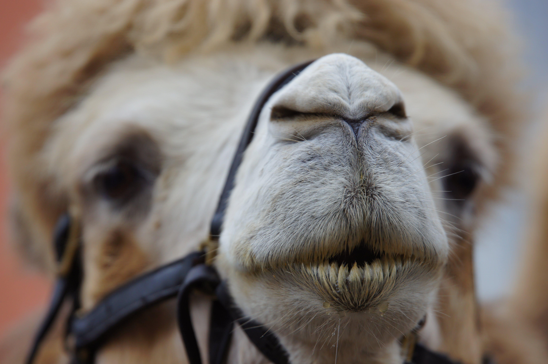 animal, blur, camel