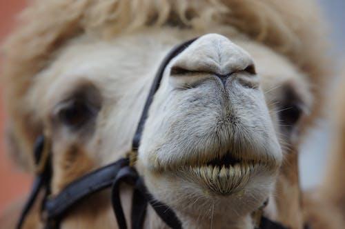 Kostnadsfri bild av däggdjur, djur, inhemsk, kamel