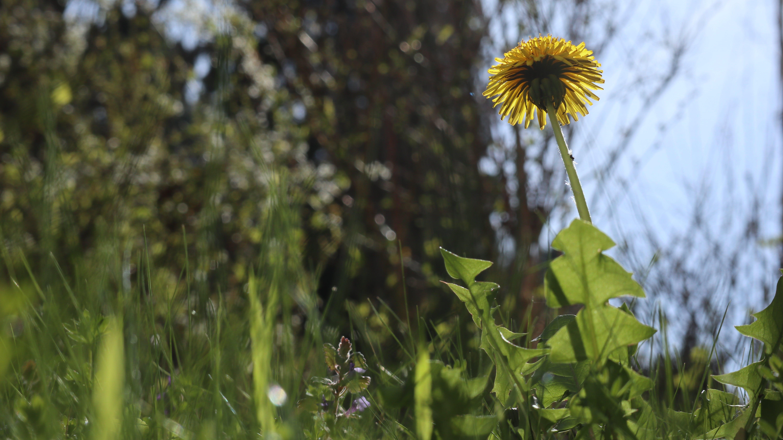 Free stock photo of dandelion, flower, green, light