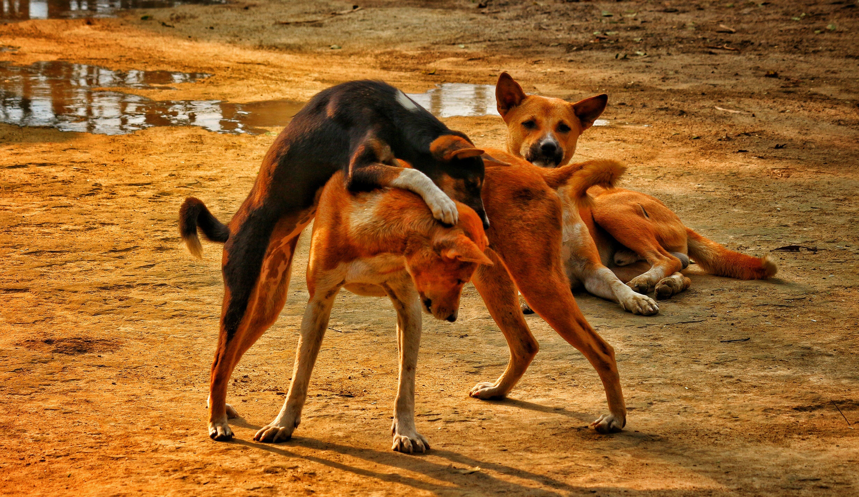 Tan Black Dog Fighting With Tan Dog during Daytime