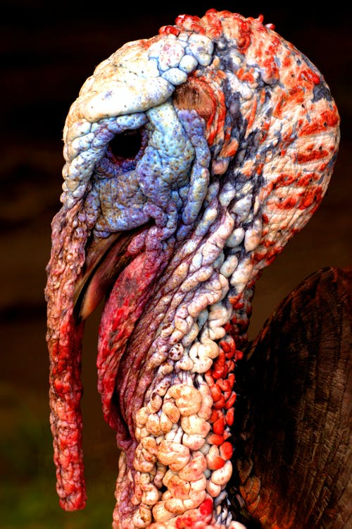 Free stock photo of animal portrait, blue, turkey
