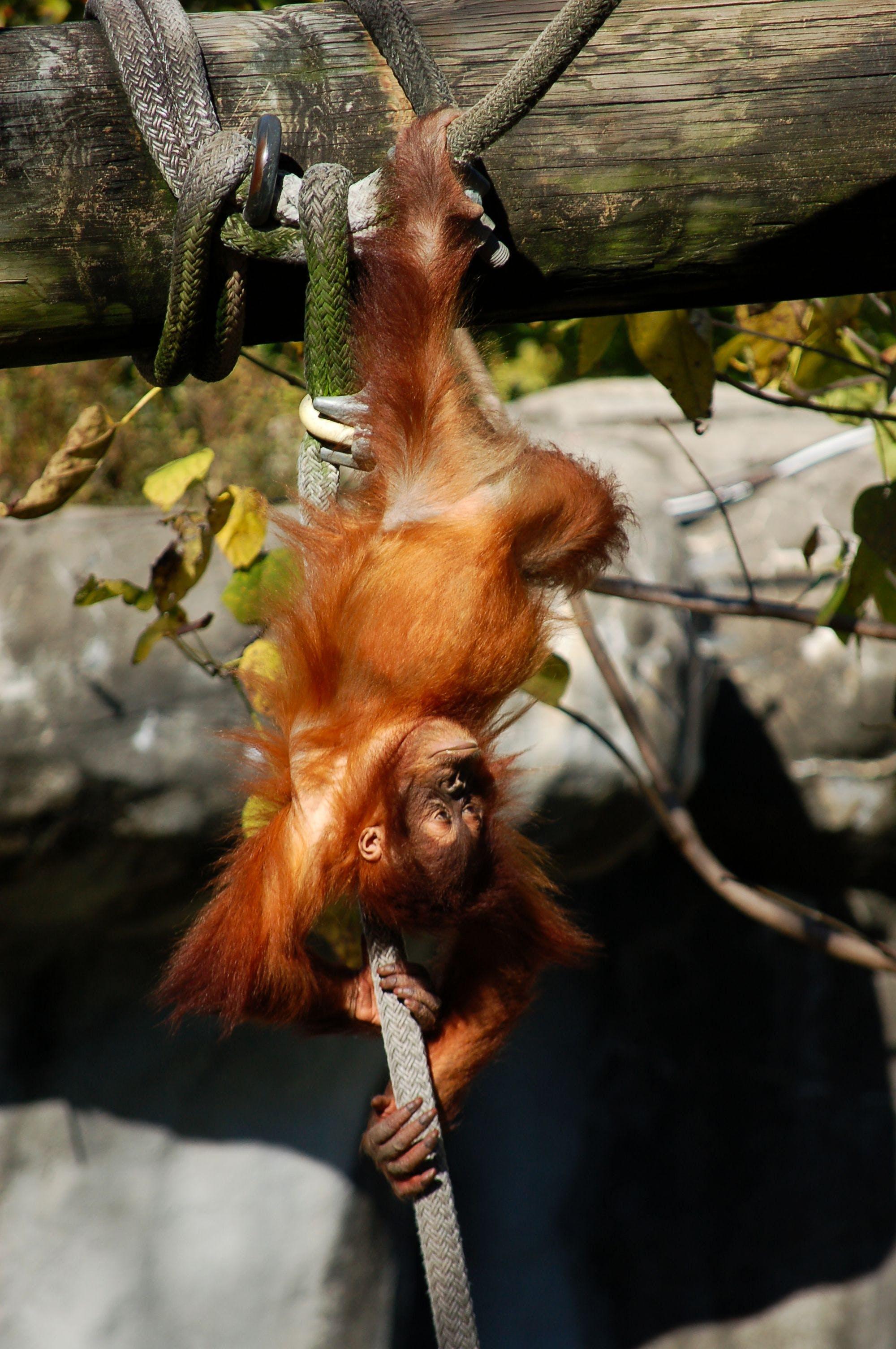 ぶら下がり, オランウータン, ロープ, 動物の無料の写真素材