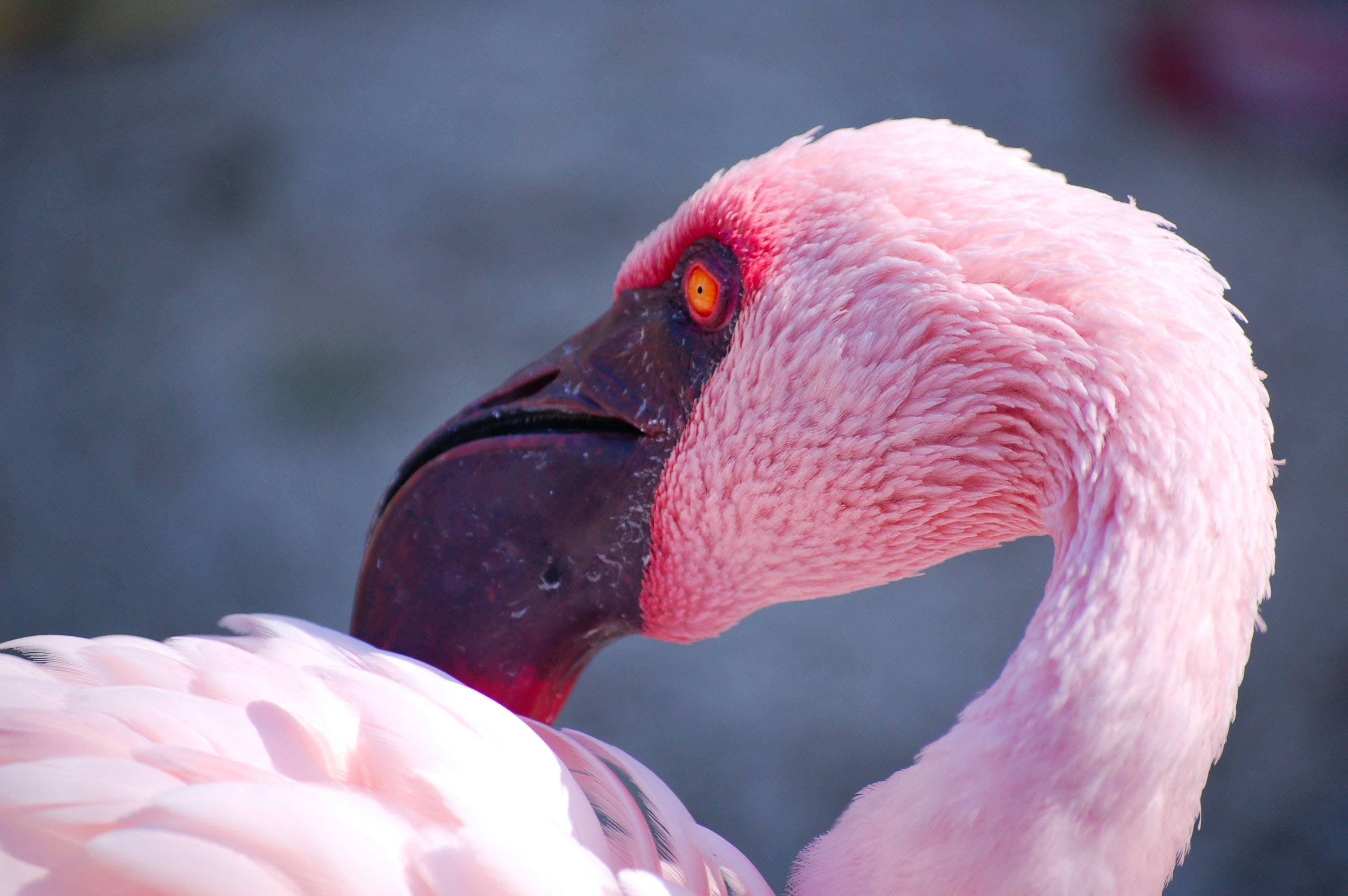 Selective Focus Of Flamingo Bird