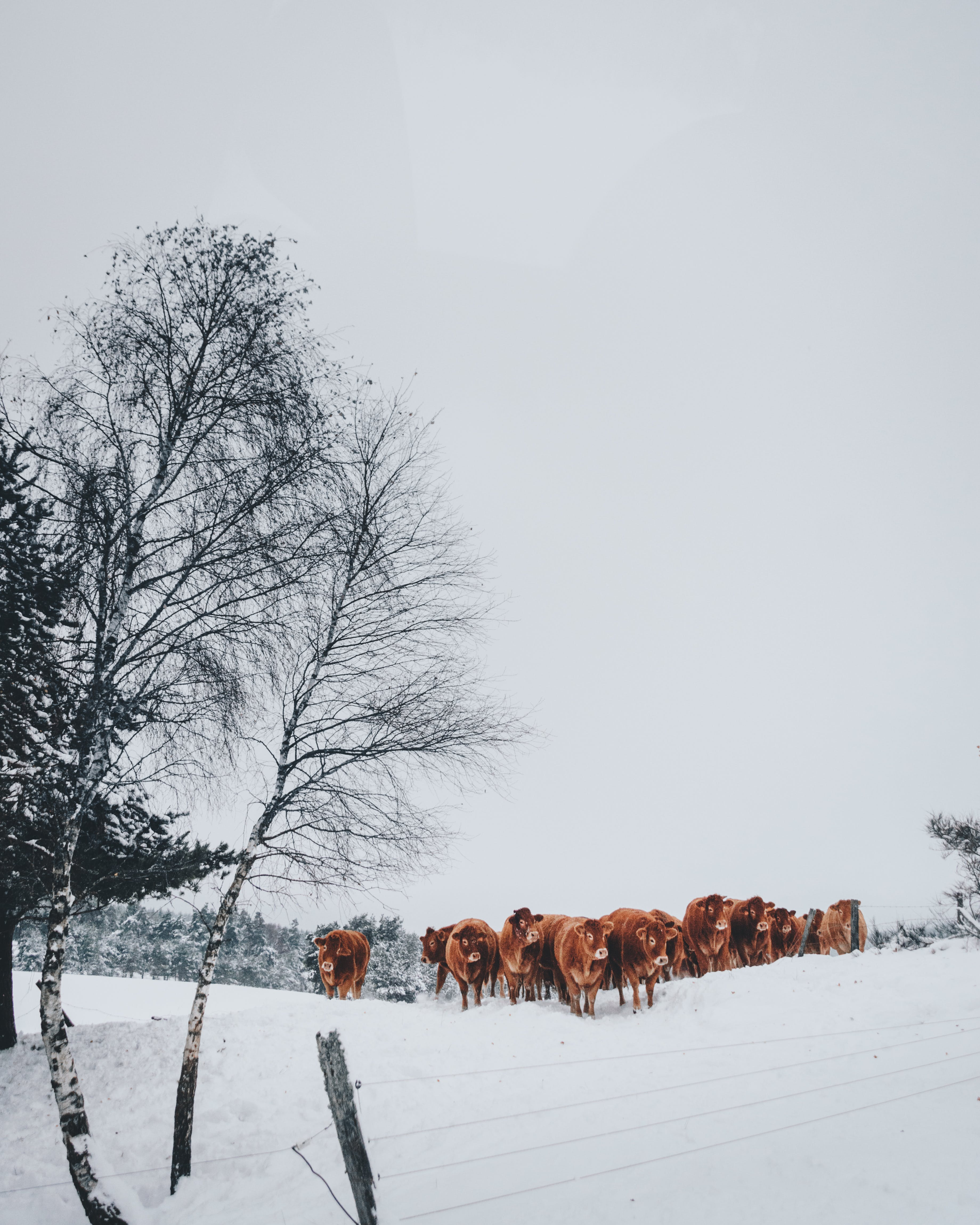 Group of Cattle on Snowfield