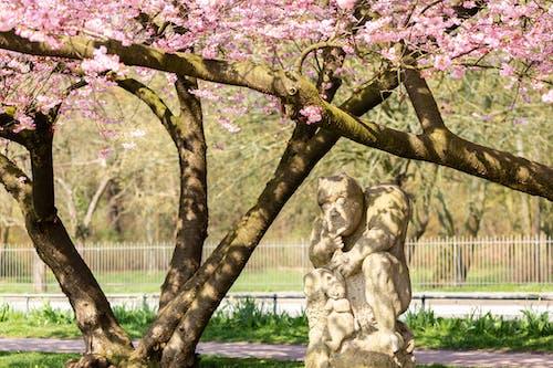 Ingyenes stockfotó cseresznyevirág témában