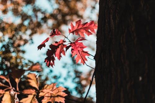 Kostnadsfri bild av röda löv, träd
