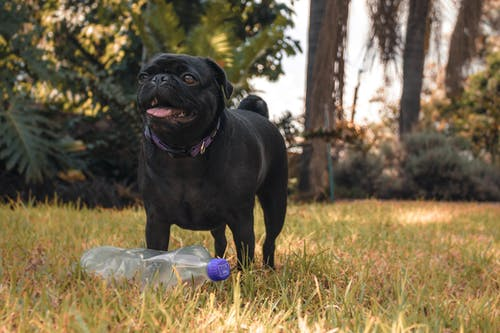 Photo of Black Pug Standing in Front of Clear Plastic Bottle