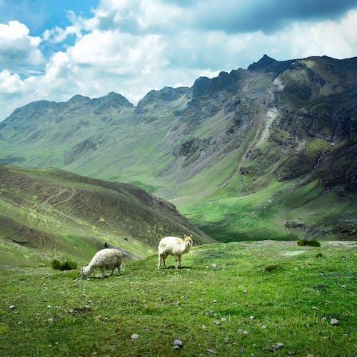Immagine gratuita di alpaca, animale, cielo nuvoloso