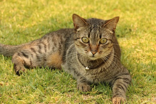 Brown Tabby Cat on Top of Green Grass Field