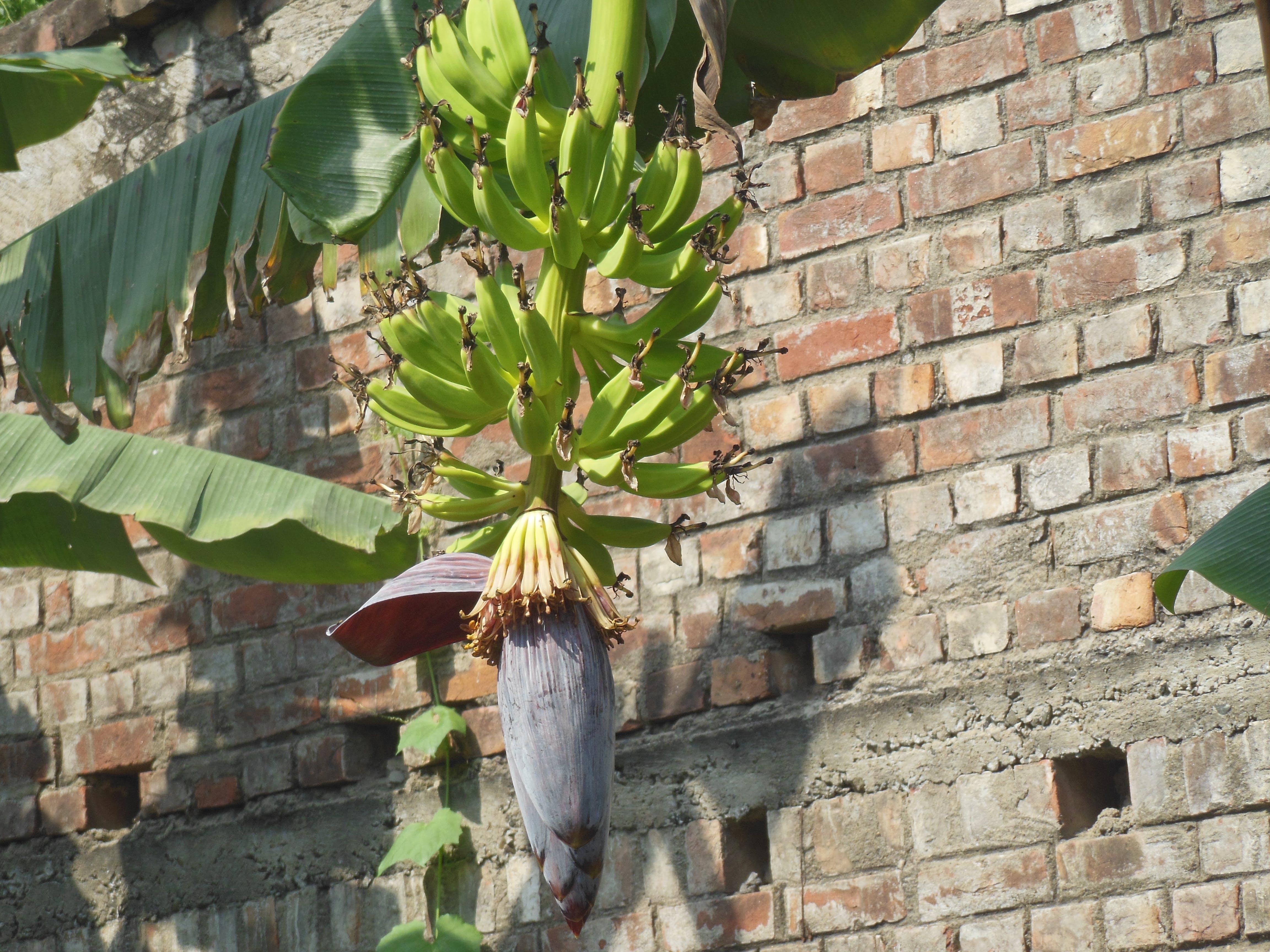 Gratis lagerfoto af grønne bananer