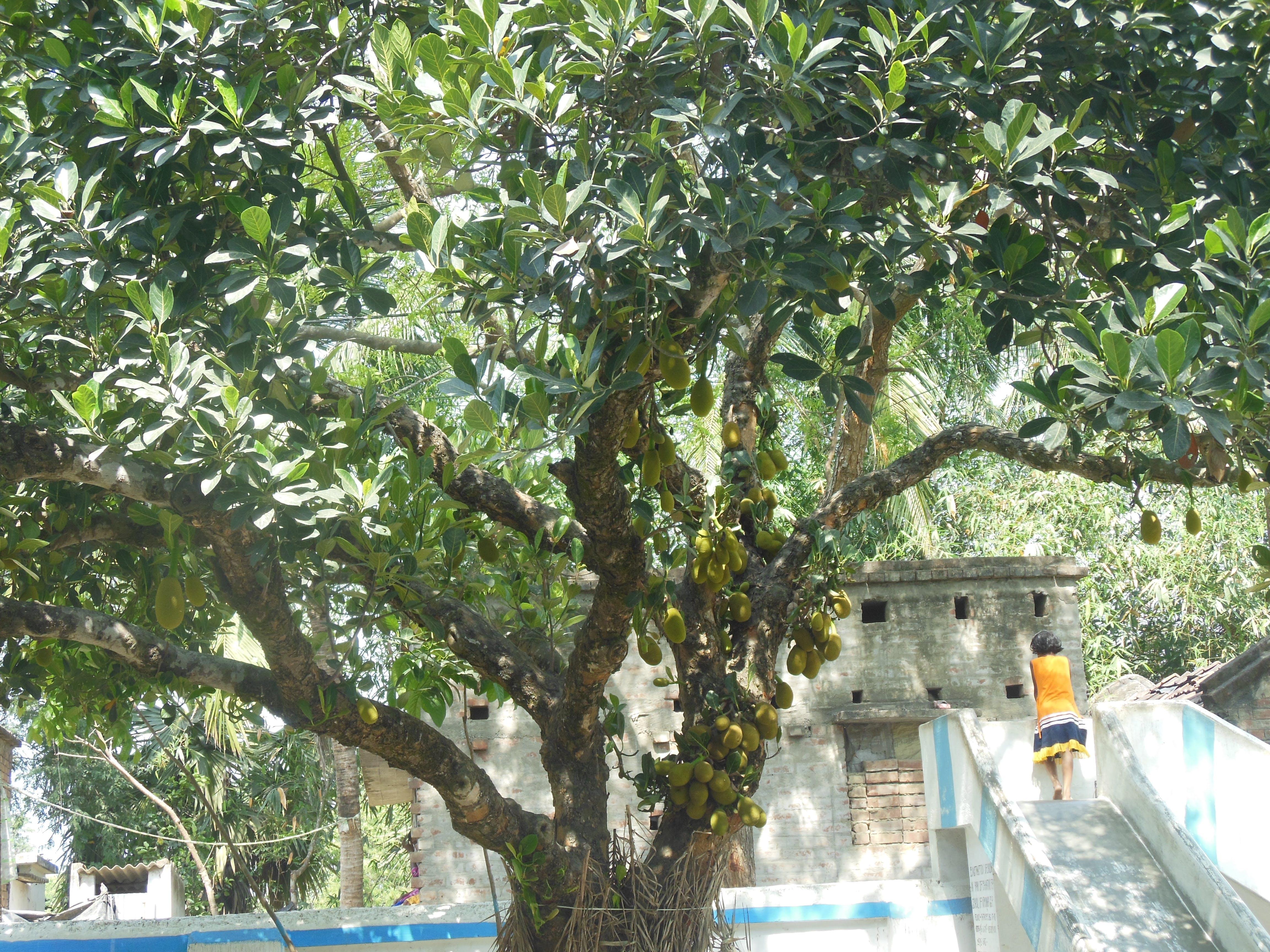 Gratis lagerfoto af jack fruit tree