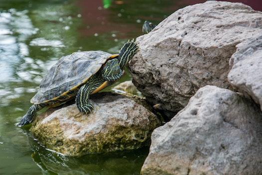 Free stock photo of water, animal, stones, turtle