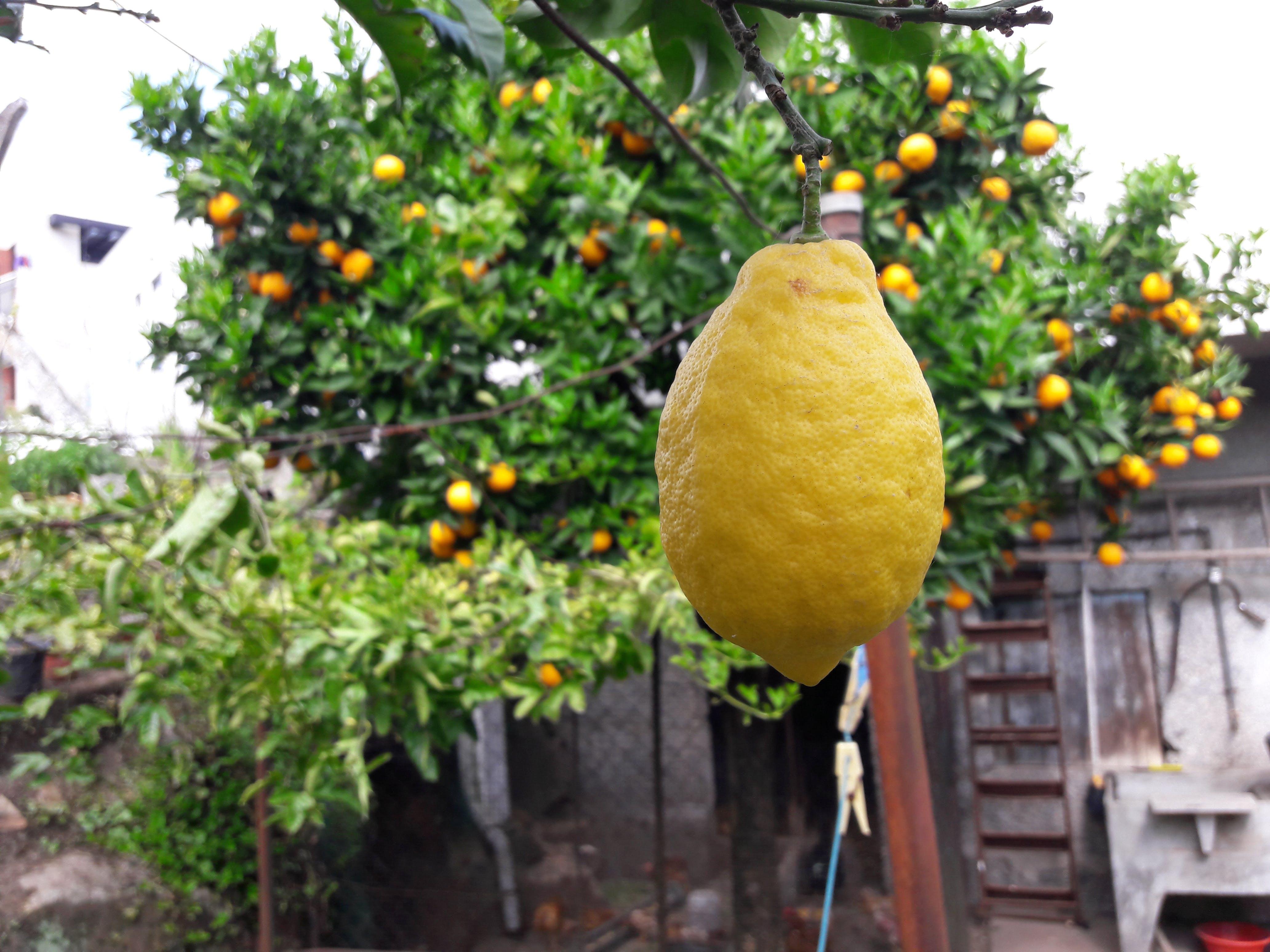 Free stock photo of backyard, citrus fruit, fruit juice, fruit tree