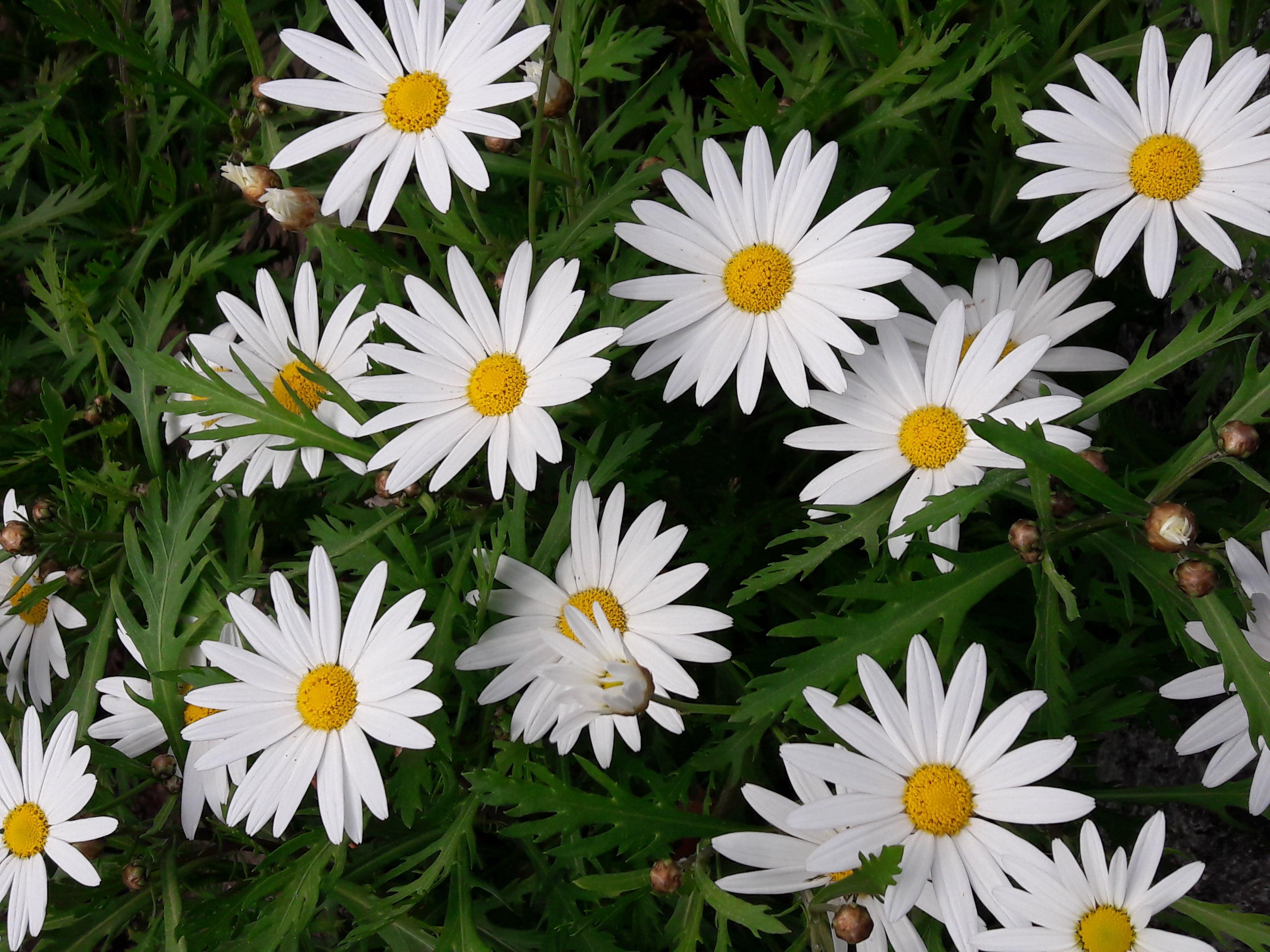 Free stock photo of beautiful flower, branco, field of flowers, flied