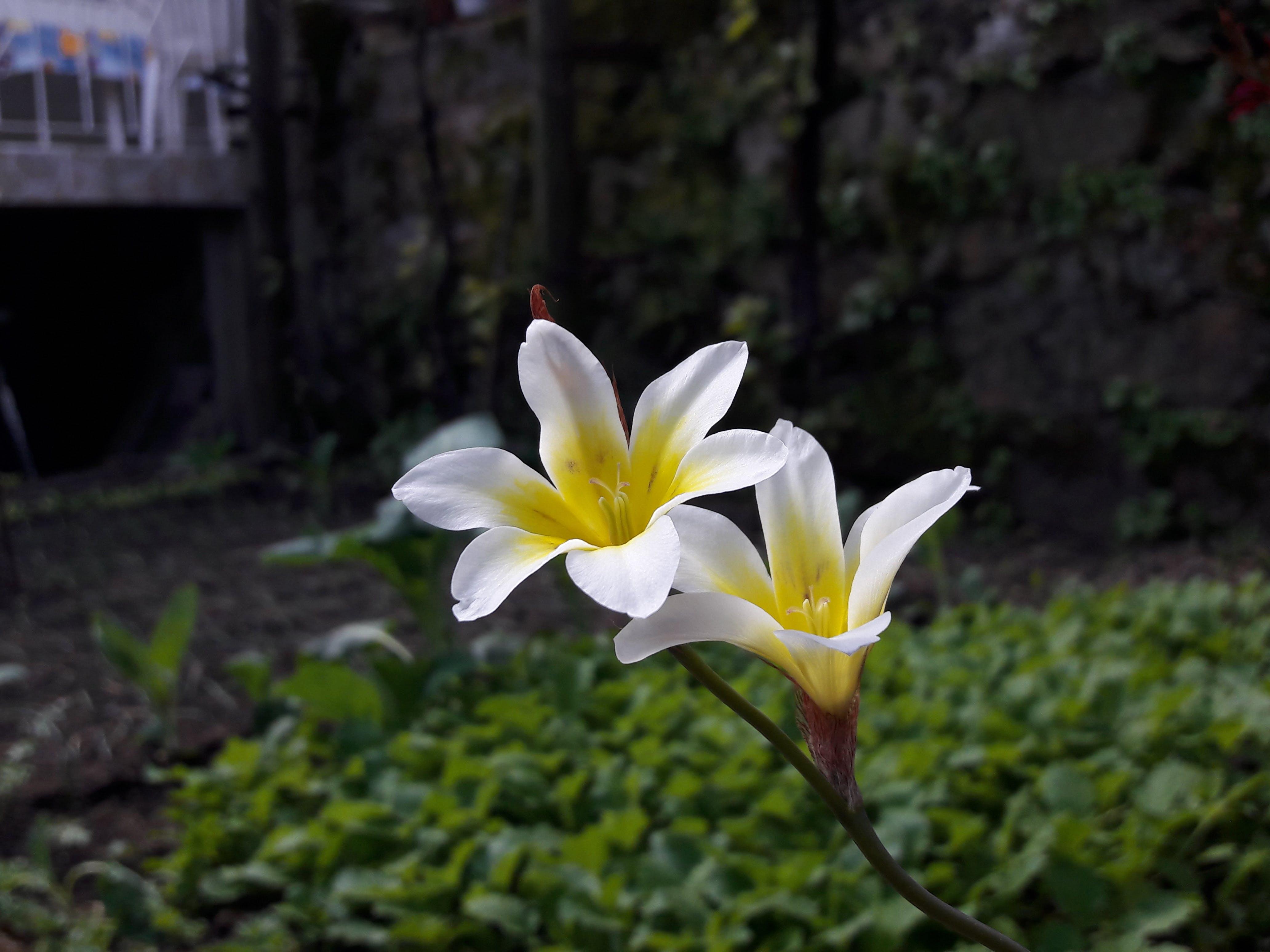 Free stock photo of backyard, beautiful flower, flower, happiness