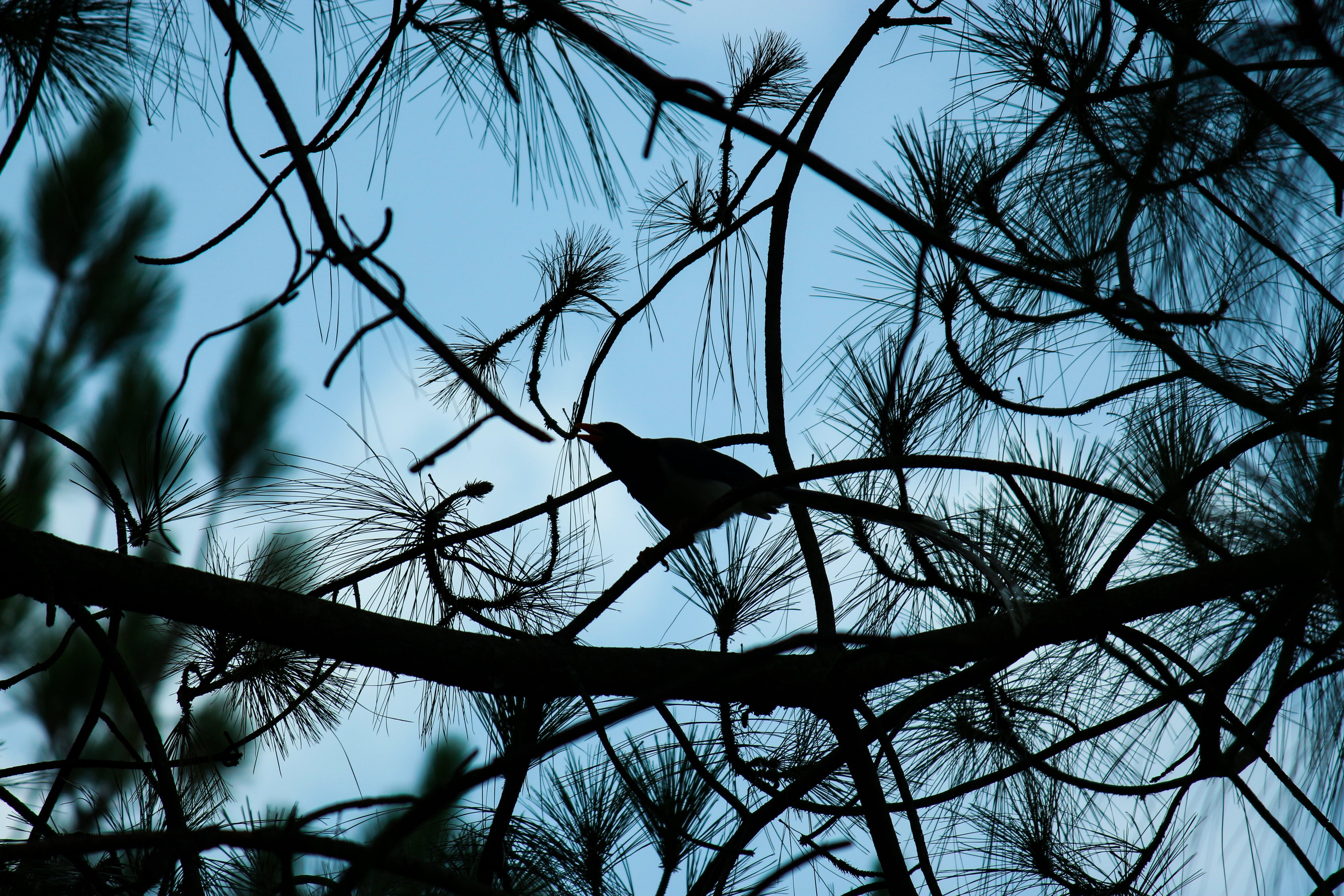 Foto d'estoc gratuïta de #birds #birdphotography #bird #nature #wildlife #b, #blues #bird #wildlife #trees #pine #nature