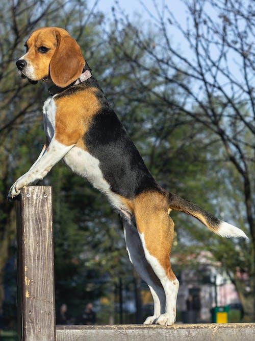 Fotos de stock gratuitas de beagle, perro, perros