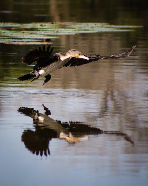 Fotobanka sbezplatnými fotkami na tému divočina, fotografie zvierat žijúcich vo voľnej prírode, krídla, lietanie