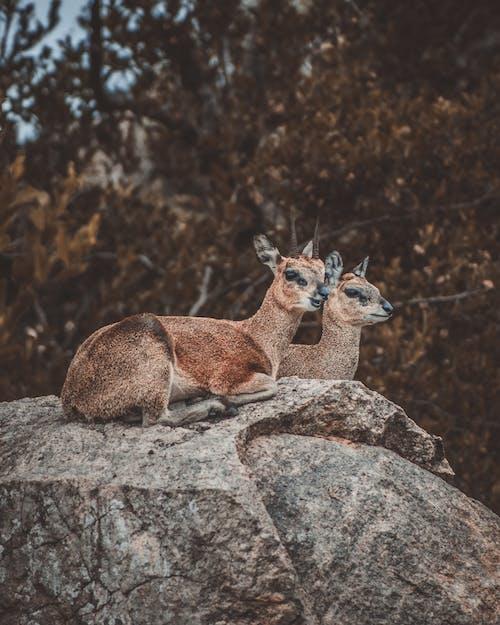 Kostnadsfri bild av djurfotografi, hjortar, rock, söt