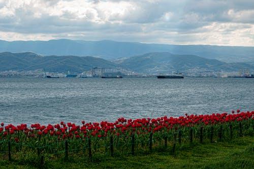 山, 海, 红色郁金香, 自然光 的 免费素材照片