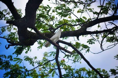 Foto stok gratis burung dara, merpati putih