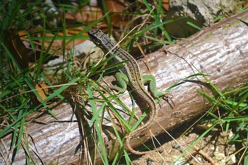 Immagine gratuita di animali, iguana, rettili