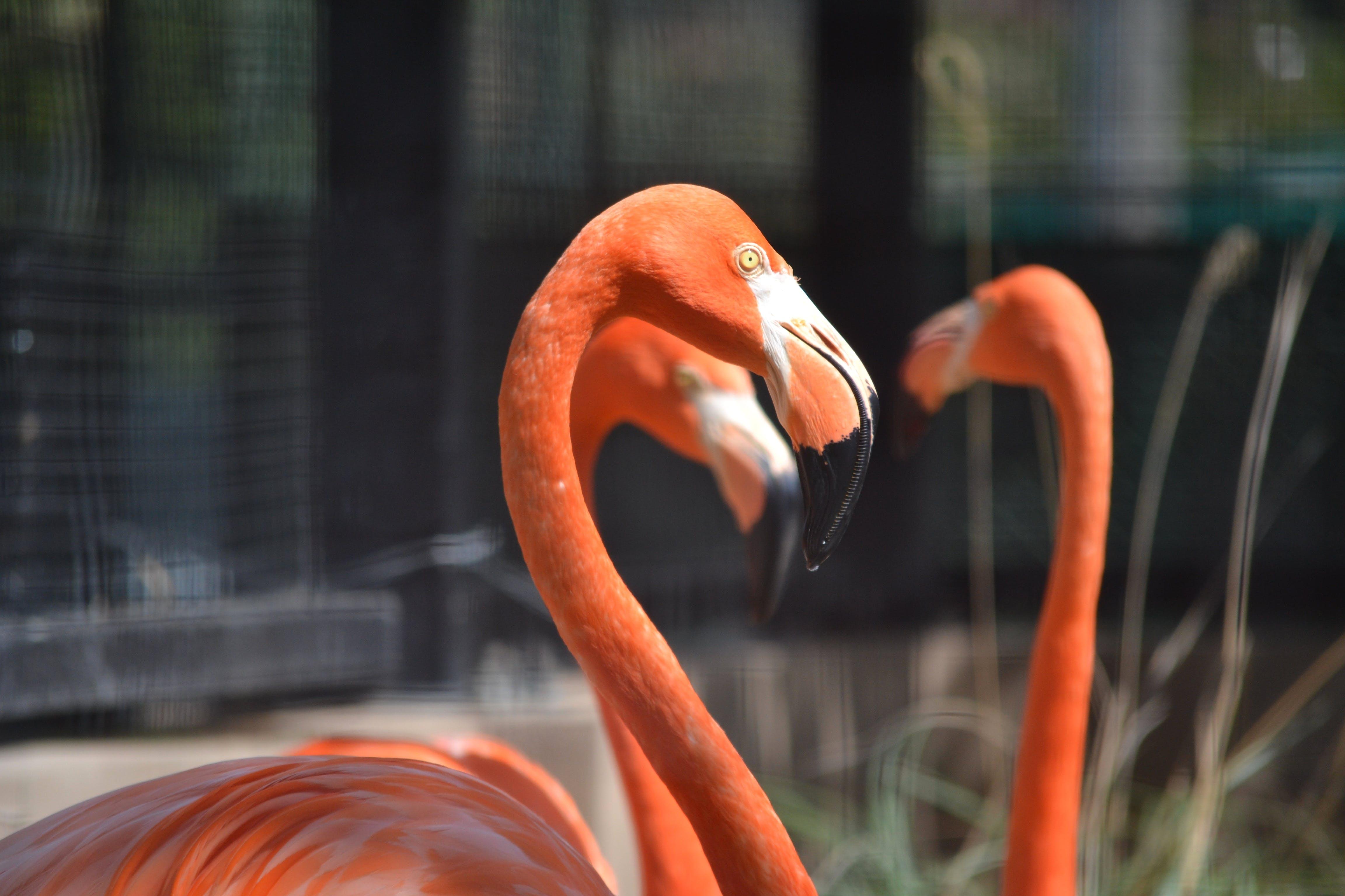 Free stock photo of animals, flamenco