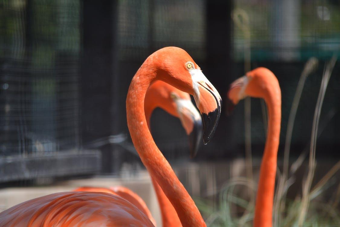 animaux, flamenco