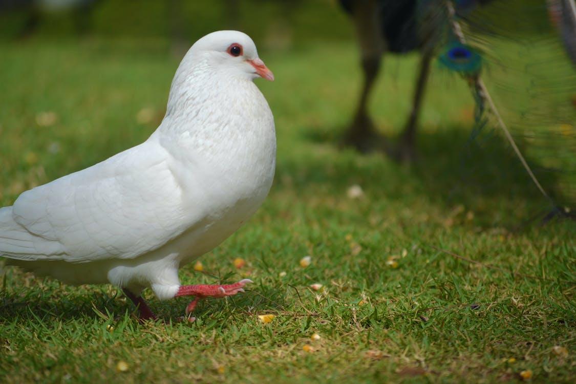 นกพิราบ, นกพิราบสีขาว, นกเขา