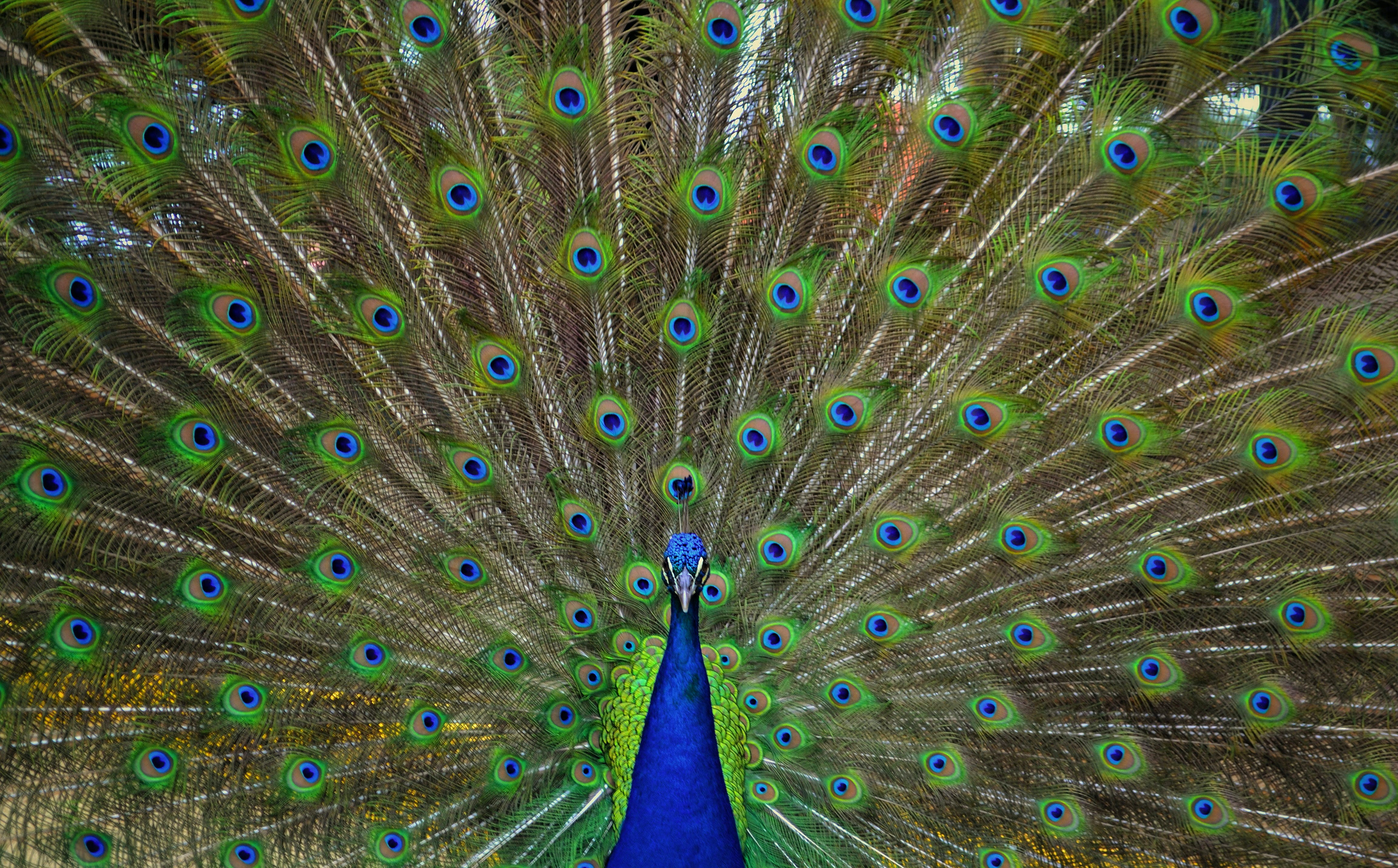 Free stock photo of peacock, peacock feathers