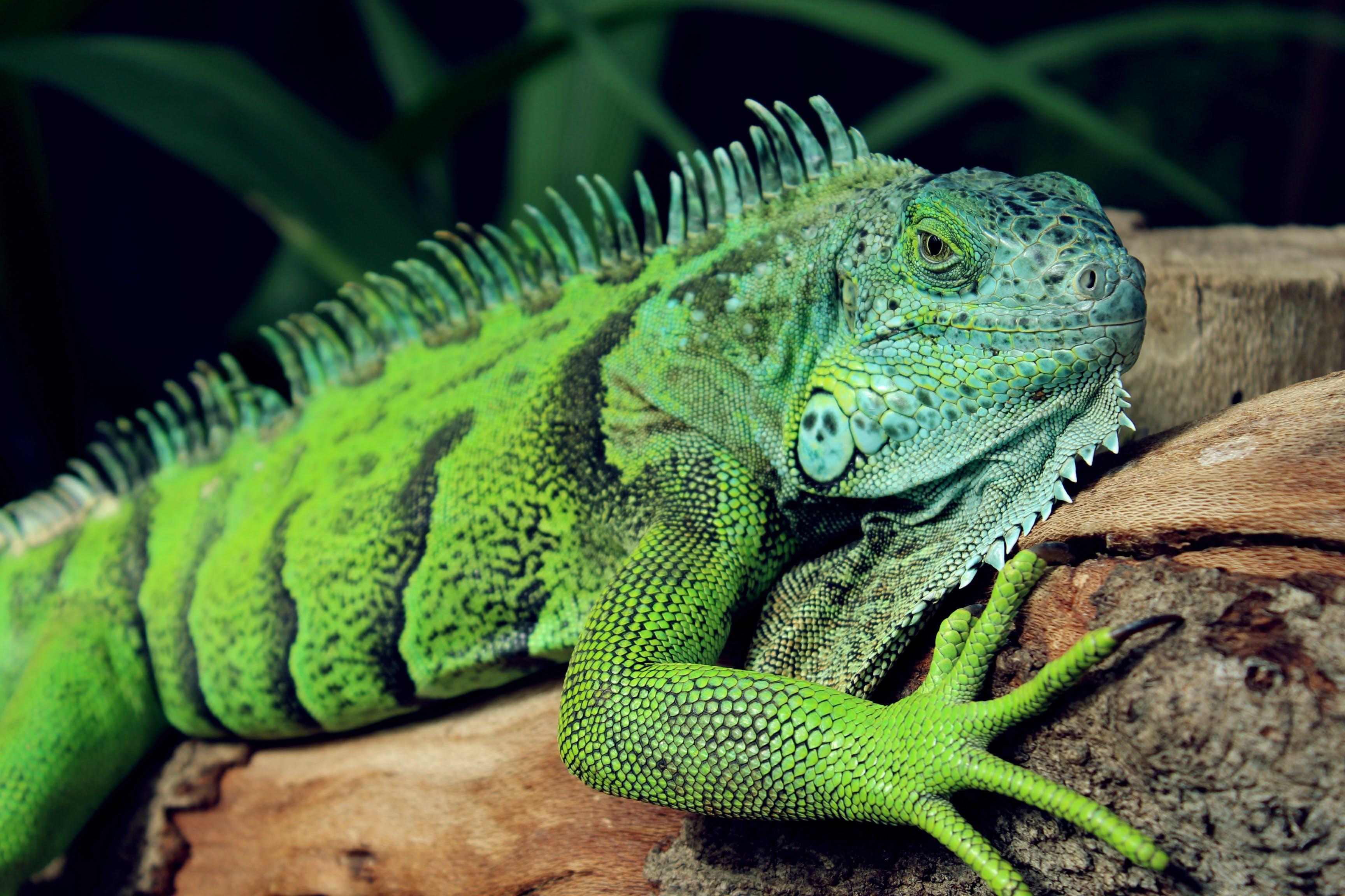 Kostnadsfri bild av djur, grön, leguan, ödla