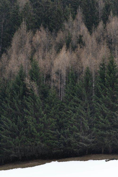 ağaçlar, büyüme, çam ağaçları