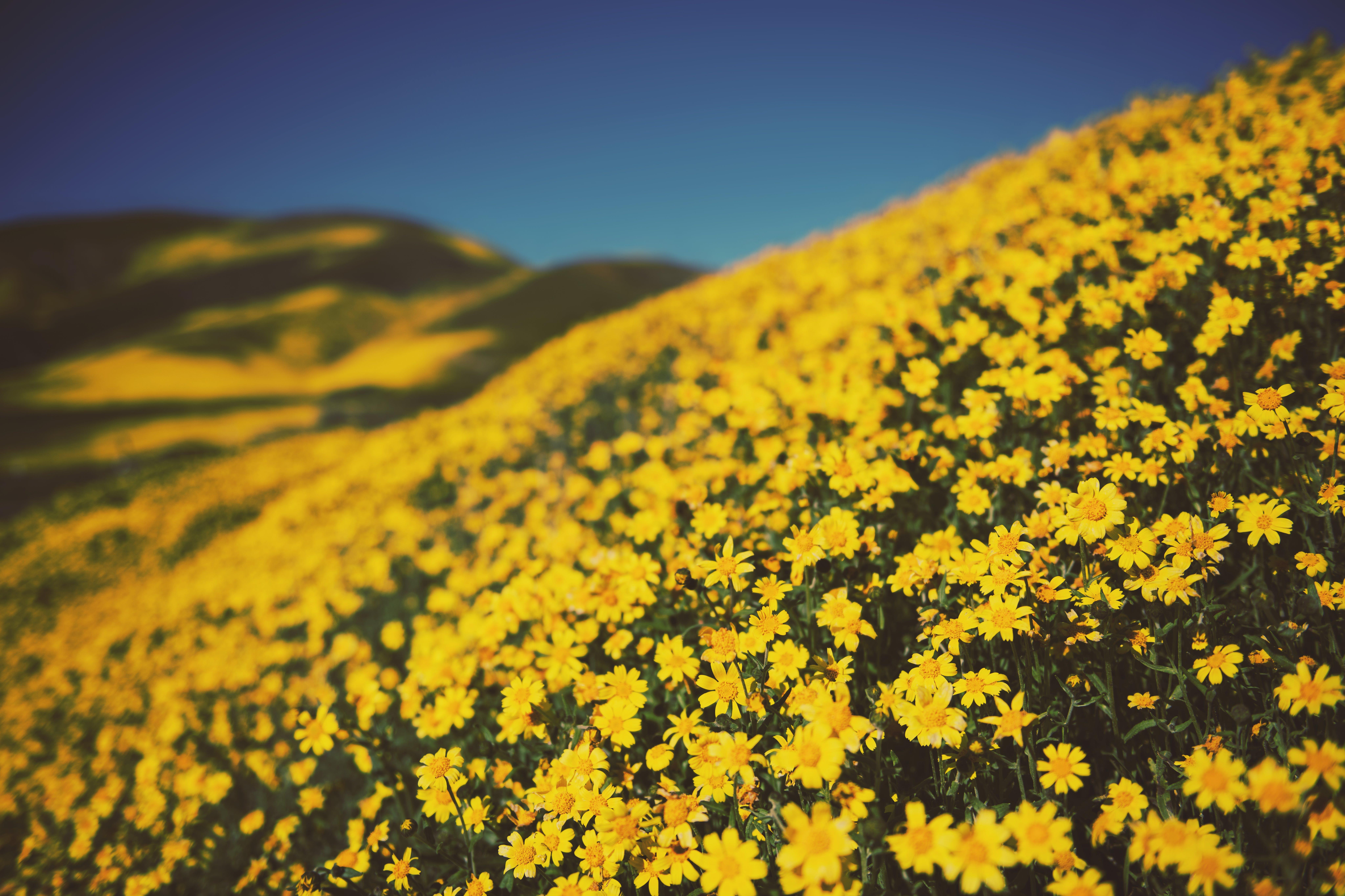 Free stock photo of flowers, hillside, super bloom