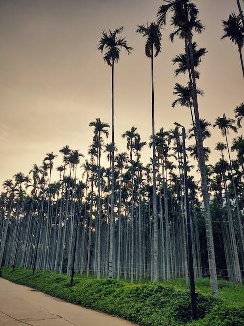 Fotos de stock gratuitas de #mobilechallenge, #outdoorchallenge, árboles de bambú, cielo al atardecer