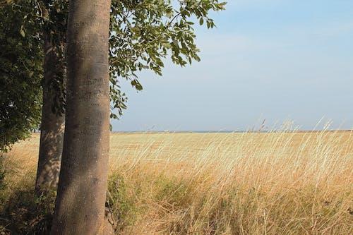地平線, 小麥, 樹, 田 的 免費圖庫相片